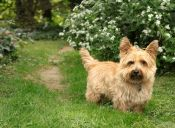 Perfiles: Cairnterrier