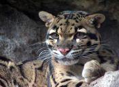 Animales extintos: Leopardo Nublado de Formosa
