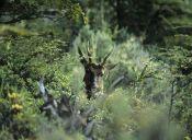 Animal chileno en peligro de extinción: Huemul