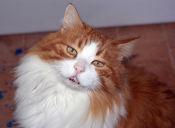 El Virus de Inmunodeficiencia Felina que ataca a los gatos adultos