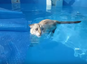 3 videos de gatos graciosos en la piscina
