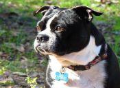 Perfiles: Boston Terrier
