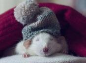 Ratitas y ratones: Cuidados básicos