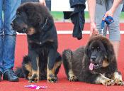 Las 5 razas de perros más caras del mundo
