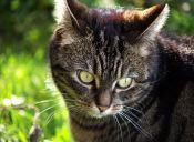 Perfiles: Gato Tabby