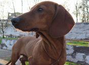 Historias de Mascotas: La Complicada Columna de mi Salchicha