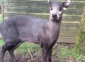 Animales que no creerás que existen: Ciervo de copete o Eláfodo