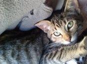 Presenta a tu mascota comunitaria: Negrillo, el gatito ratero de nuestro barrio