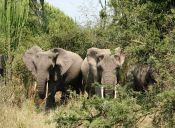 Encontraron el responsable de la matanza masiva de elefantes en Zimbabue