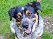Cuando los perros sonríen ¿Realmente quieren demostrar felicidad?