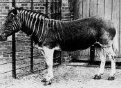 Animales Extintos: Quagga