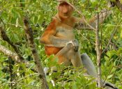 Animales que no creerás que existen: Mono narigudo