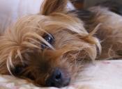 Historias de mascotas: Lunes el yorkshire
