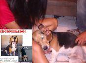 El beagle es un perro hermoso