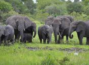 En Sudáfrica entrenan elefantes para detectar bombas