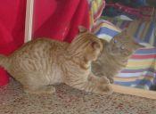 [Video] Un gato tan enojado que pelea hasta con su reflejo