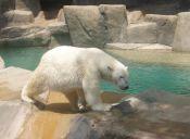 Murió Taco, el oso polar del Zoológico de Santiago