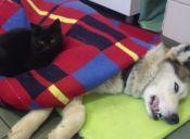 Radamenes, el gato enfermero