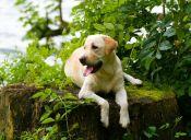 Labradores son los perros favoritos en Estados Unidos según el American Kennel Club