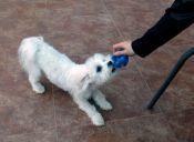 Historias de Mascotas: Vivir con un revoltoso maltés
