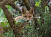 Pieles de animales protegidos se comercializaban en una feria libre de Rancagua