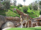 ¡Sorprendente! Jirafa se enfrenta a leones para proteger a su pequeña cría