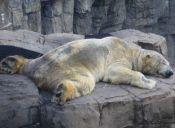 Activistas promueven intensa campaña internacional para liberar al oso polar