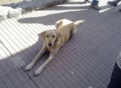 Maltrato Animal: Perrito fue cruelmente apuñalado y quemado con aceite en Ñuñoa