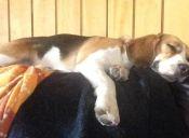 Perfiles: Conoce al tierno y dócil Beagle
