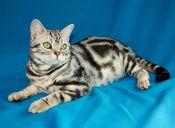 Perfiles: Gato American Shorthair