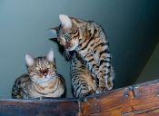 Perfiles: Gato Bengala