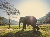 Informe advierte que caza de elefantes podría llevarlos a la extinción en un siglo