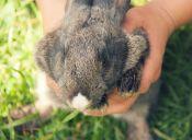 Pit Bull limpia con besos a cría de conejo recién rescatada