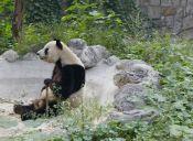 Panda gigante fingió embarazo para recibir mejores cuidados