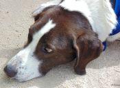 Maltrato Animal: Condenan a hombre por golpear y matar a perrito en Fresia