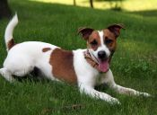 Perfiles: Jack Russell Terrier