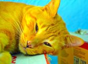 ¿Cómo criar a un gatito con ceguera?