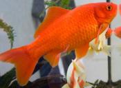 Extirpan tumor cerebral a un pez dorado en Australia