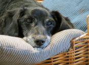 Enfermedades que pueden afectar el corazón de tu perrito