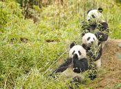 ¡Una verdadera lucha! Traviesos pandas se resisten a tomar su medicina