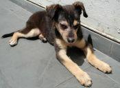 Demodexia canina: Cuidando la piel de nuestro mejor amigo