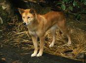 Moción pretende no sancionar a quienes maten perros salvajes que ataquen ganados