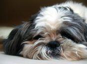 Gracias al Microchip perrito regresa a su hogar tras 8 años perdido