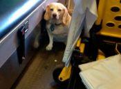 Beagle persiguió 24 kilómetros a una ambulancia que trasladaba a su dueño