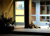 Perrita espera a su dueño fallecido a las afueras de un hospital en Rusia