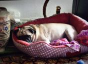 Ronquidos en perros, ¿por qué se producen y cómo evitarlos?