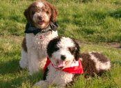 Club Kennel Americano agregó cuatro razas a la lista oficial de caninos