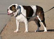 Perfiles: Bulldog Americano