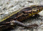 8 tipos de lagartijas que te gustaría tener en casa