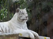 Animales del Buin Zoo toman helado para capear altas temperaturas